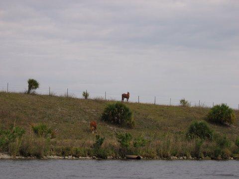 Horses along Okeechobee waterway Florida