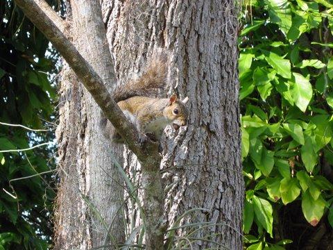 Okeechobee Waterway squirrel