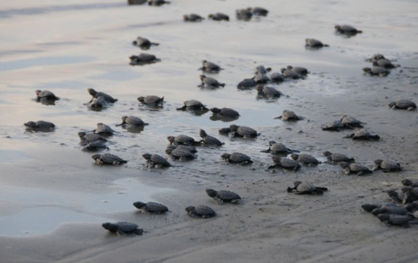 Sea turtle hatchlings begin their march to the sea