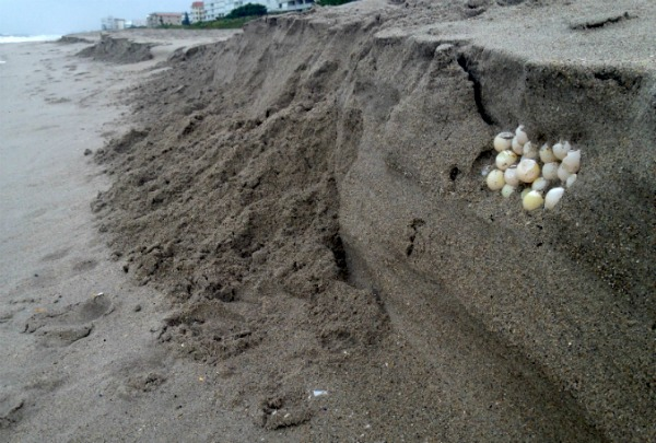 Turtle eggs exposed by erosion after Tropical Storm Colin