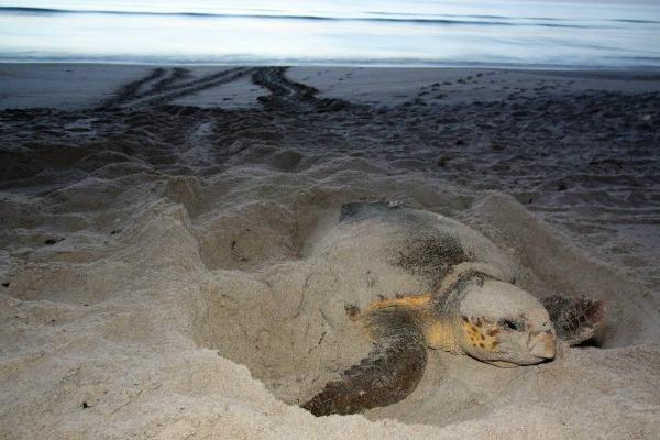 Sea turtle laying eggs on Florida beach