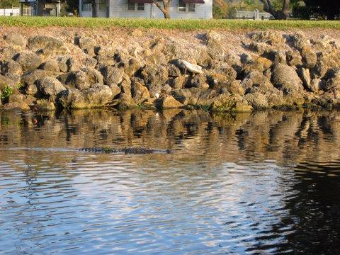 Gator at Roland Martins Okeechobee Waterway