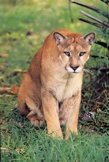 Panther at Babcock Ranch