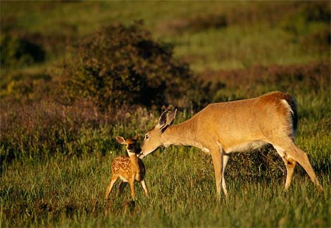 Mother deer and fawn at Babcock Ranch
