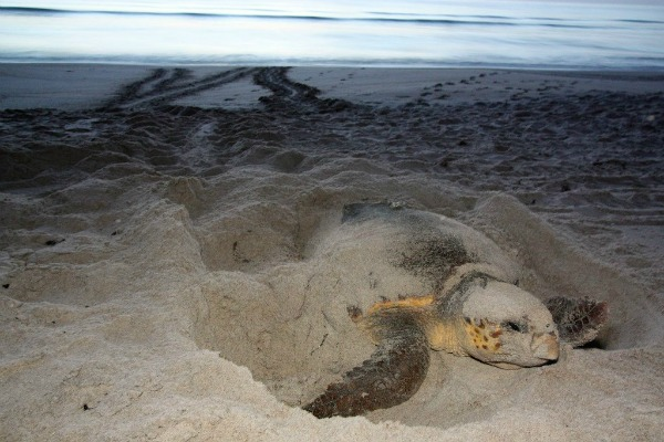 Sea turtle laying eggs on Florida beach