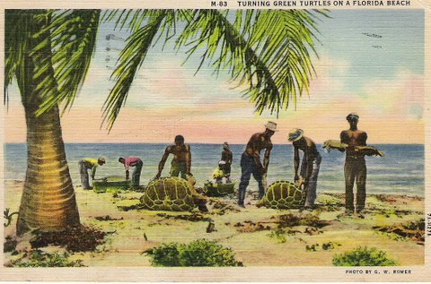 Vintage postcard showing workers turning turtles on their backs on a Florida beach