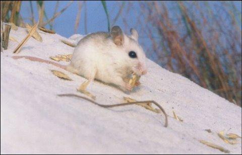 Perdido Key Beach Mouse