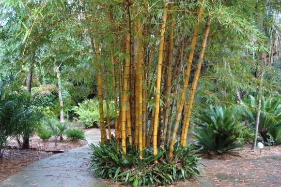 Leu Gardens Bamboo Plant