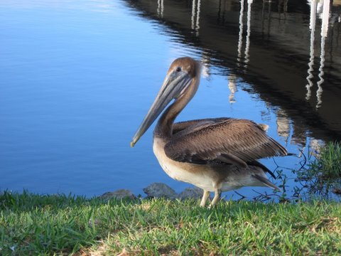 Pelican at Roland Martins on Okeechobee Waterway