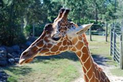 Giraffe at Brevard Zoo, Melbourne, Florida