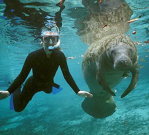 Manatee and diver at Crystal River, Florida