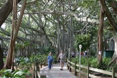 Edison Ford Banyan Trees