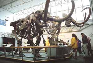 Mammoth at Florida Museum of Natural History