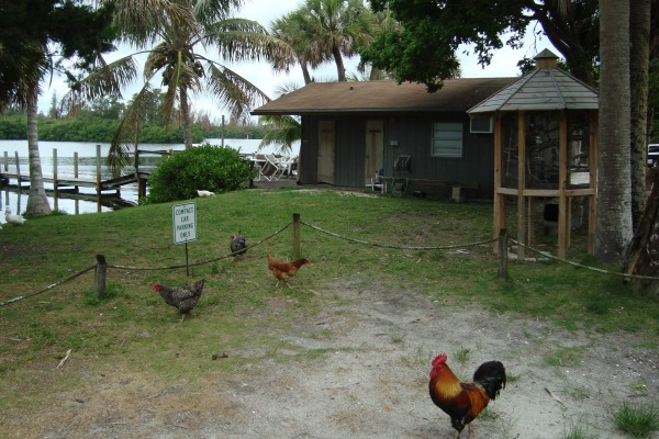 Headquarters of Honest John's Fish Camp with roosters standing guard