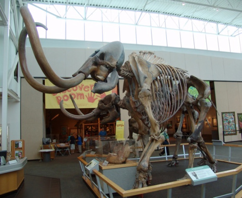 Mammoth Skeleton at Florida Museum of Natural History