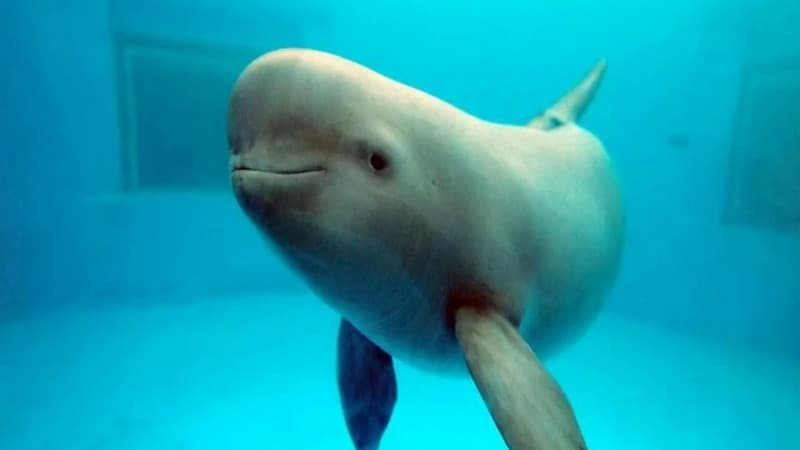 Porpoises look like small whales