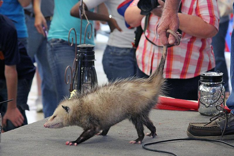 The Main Attraction at the Wausau Possum Festival